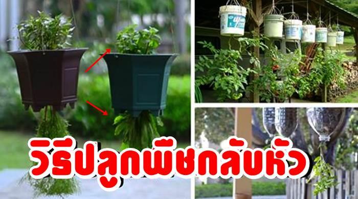 """Photo of ไอเดียเกษตรแนวใหม่ """"ปลูกพืชกลับหัว"""" ได้พืช 2อย่างในกระถางเดียว"""