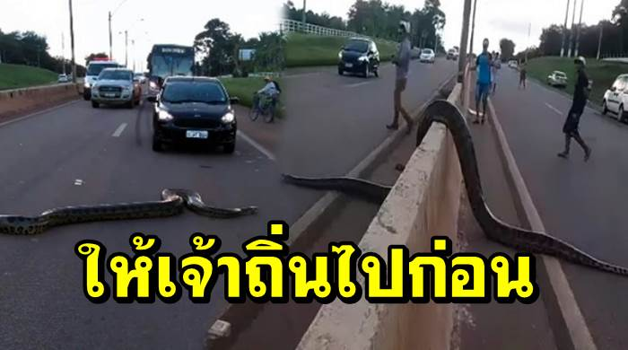 "Photo of เจ้าของรถพร้อมใจกันเบรคลั่นถนน เปิดทางให้ ""งูใหญ่เจ้าถิ่น"" ข้ามถนน โดยไม่ต้องพึ่งทางม้าลาย"
