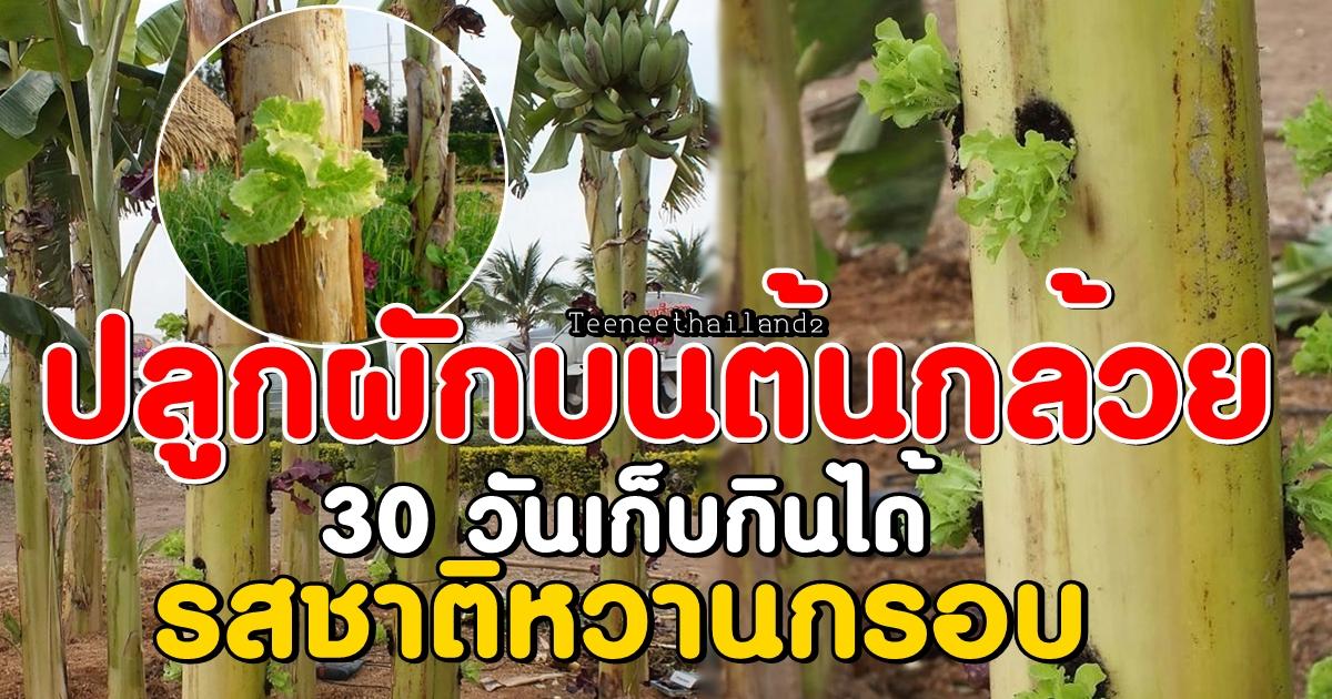 Photo of วิธีปลูกผักบนต้นกล้วย ปลูก 30 วัน เก็บกินได้ รสชาติหวานกรอบ