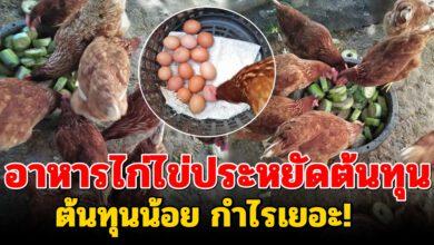 Photo of เลี้ยงไก่ไข่ไว้กิน 27 ตัว 5 วันได้ไข่ 100 ฟอง มีลูกค้ามาเรียกซื้อไข่ทุกวัน