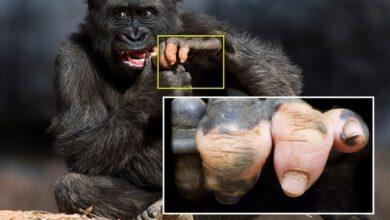 Photo of กอริลลาน้อย Anaka ในสวนสัตว์อเมริกา เกิดมาพร้อมกับนิ้วมือและเล็บที่ดูเหมือนมนุษย์มากๆ