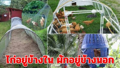 Photo of ไอเดียการ ปลูกผัก เลี้ยงไก่ ไปพร้อมๆกันเพื่อให้เกิดประโยชน์สูงสุด