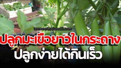 Photo of เ ท ค นิ คปลูกมะเขือย าวในกระถาง ดูแลง่าย คน มีพื้นที่น้อยก็ปลูกได้