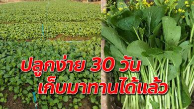 Photo of วิธีปลูกผักกวางตุ้ง ให้งามไวเอาไว้ทานที่บ้านก็ได้