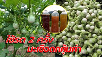 Photo of วิธีทำฮอร์โมนรดผักใช้งบไม่เกิน 30บาท ใช้รดมะเขือเปราะ 2ครั้งดกคุ้มค่า